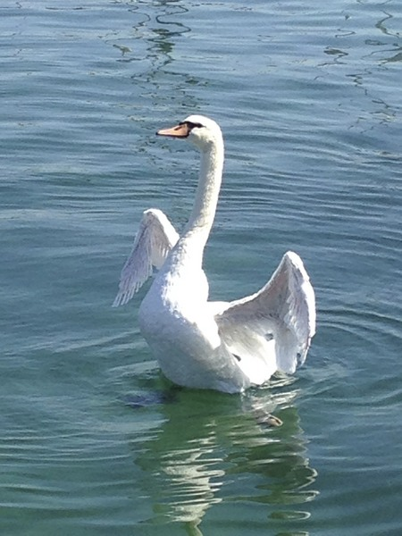 Swiss Swan (on lake Geneva/Leman)