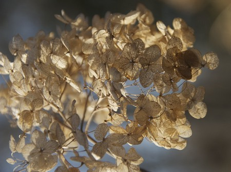 Autumn light in hydrangea bloom